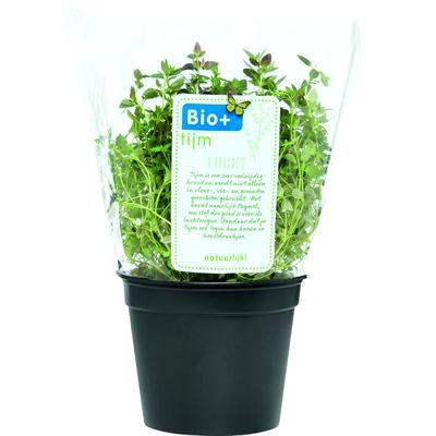Biologische Kruidenplant Thijm